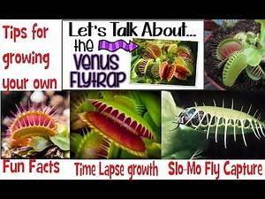 Venus Fly Traps: Time Lapse Growing~Slo-Mo Fly Capture~Fun Facts More