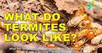 What Are Termites? What Do Termites Look Like?