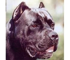 Cane corso street pits as protection dogs Plan
