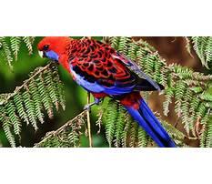 Crimson rosella diet Plan