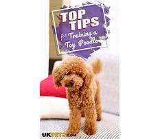 Dog training toy poodle.aspx Plan