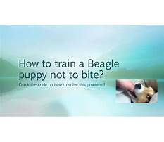 How to train your beagle not to run away Plan
