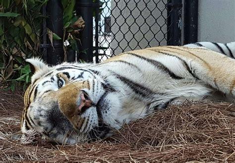 Mike Lsu Tiger