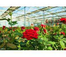 Roses in a greenhouse Plan