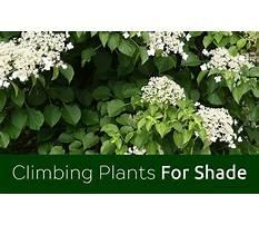 Shade loving climbers for arizona shade Plan