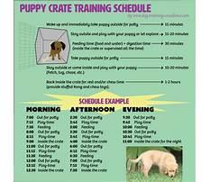 Train cattle dog puppy Plan