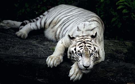 White Tiger Desktop Wallpaper